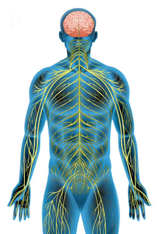 Az idegrendszer két fő része: a központi (agy, gerincvelő) és a környéki idegrendszer